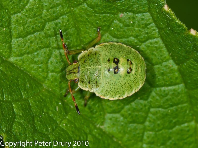 Green Shieldbug (Palomena prasina). Copyright Peter Drury 2010<br /> 3rd Instar Nymph
