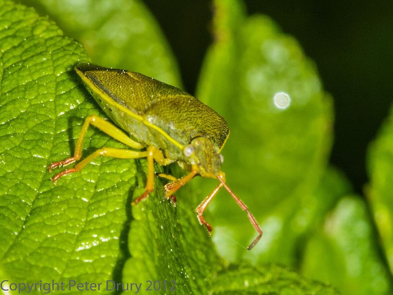 25 May 2012 Gorse Shield bug at Portchester Chalk Pit