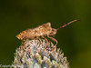Shieldbug (Syromastus rhombeus). Copyright Peter Drury 2010
