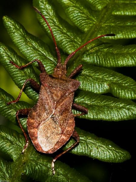 Shieldbug (Syromastus rhombeus). Copyright 2009 Peter Drury