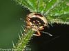 Shieldbug (Troilus luridus). Copyright Peter Drury 2010<br /> Mid instar nymph