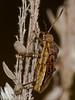 Stictopleurus punctatonervosus. Copyright 2009 Peter Drury