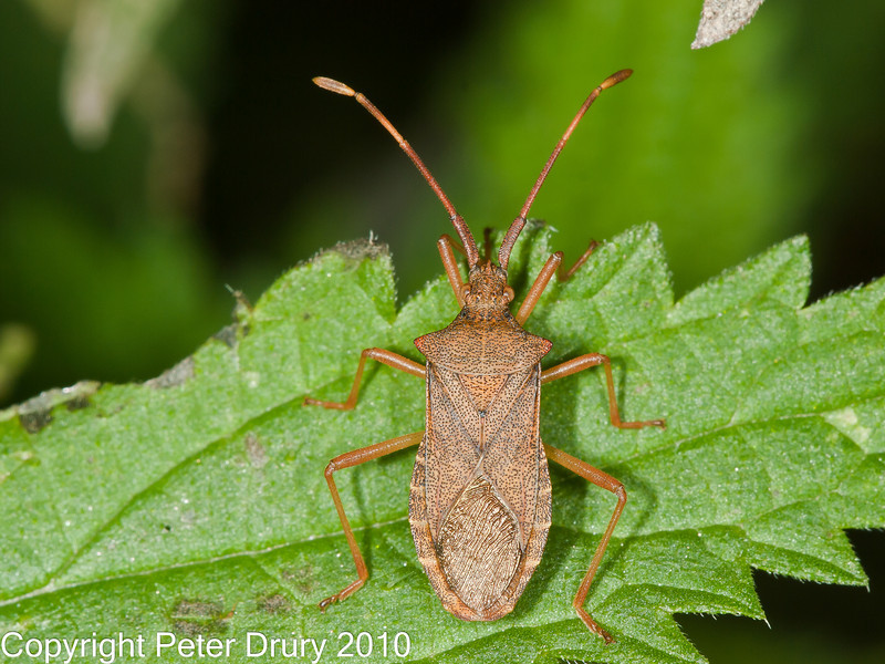 30 Sep 2010 - Box Bug (Gonocerus acuteangulatus) at Plant Farm, Waterlooville. Copyright Peter Drury 2010