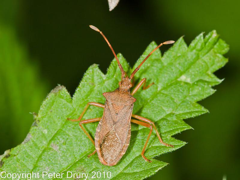 30 Sep 2010 - Box bug (Gonocerus acuteangulatus) for ID at Plant Farm, Waterlooville. Copyright Peter Drury 2010