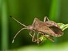 24 April 2011. Squash Bug (Coreus marginatus) at Creech Wood, Denmead. Copyright Peter Drury 2011