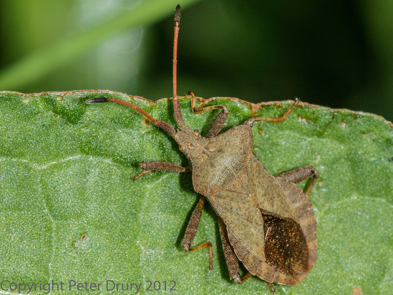 25 May 2012 Squash bugs in the Chalk Pit, Paulsgrove