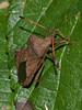 Squash Bug (Coreus marginatus). Copyright 2009 Peter Drury