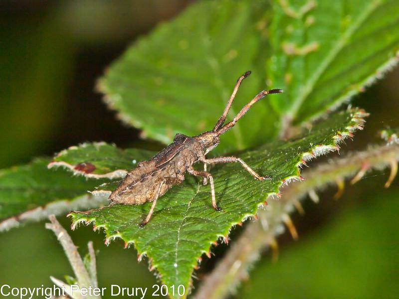 12 Sep 2010 -  Coreus marginatus - nymph, seen at Creech Woods, Denmead. Copyright Peter Drury 2010