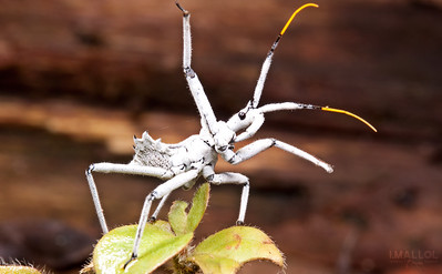 White assassin bug ready to strike