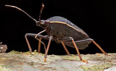 POV Stink bug (Pentatomidae)