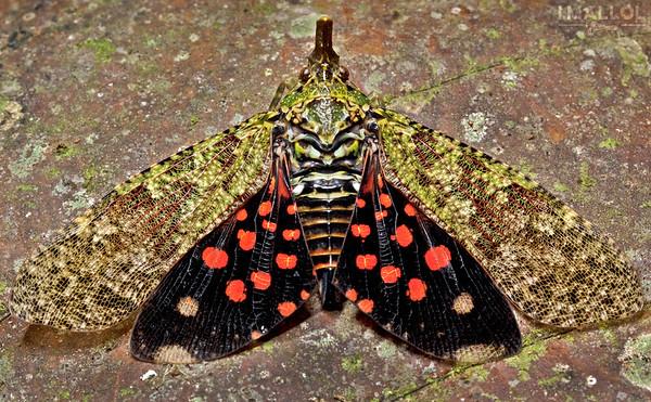 Lantern bug amazing wings (Diareusa sp.)
