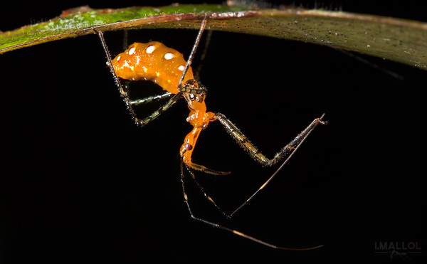 Orange assassin bug awaits under leaf (Zelus longipes)