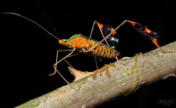 Flag footed bug (Diactor bilineatus)
