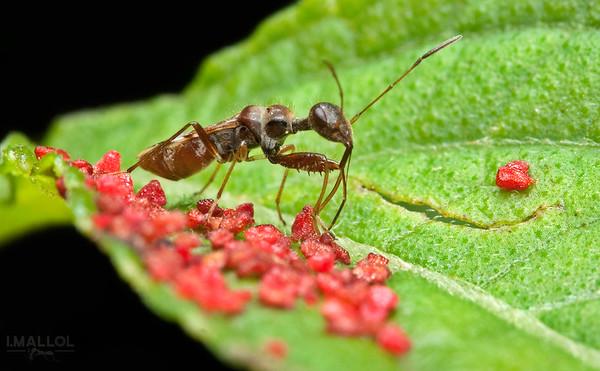 """Hemiptera keeping mysterious red """"stuff"""""""