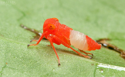 Red leafhopper nymph (Cicadellidae)