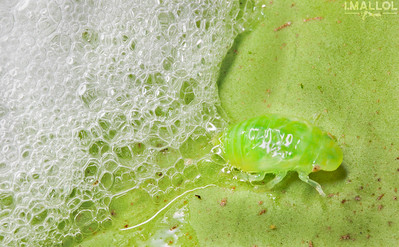 Spittlebug nymph checking outside the froth (Fam. Cercopoidea)