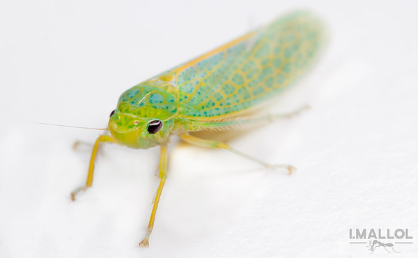 Kitchen intruder leafhopper