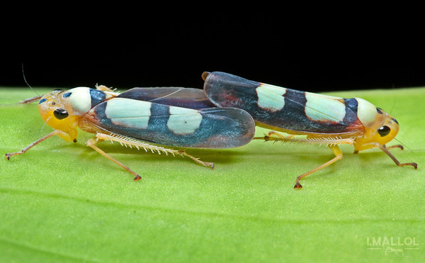 Leafhopper copulation (Tettisama bisellata)