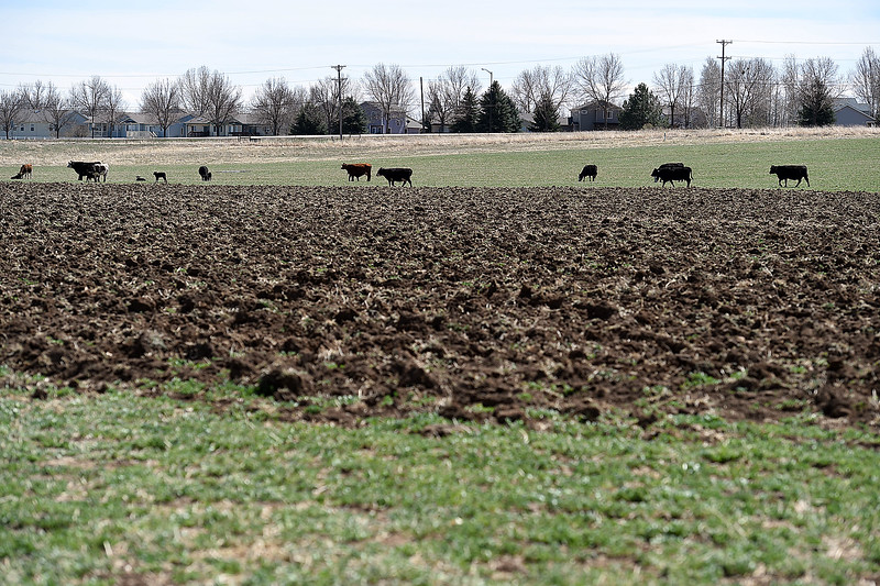 Cows graze in a field Wednesday, April 11, 2018, where Tom Hewson plans to grow hemp.   (Photo by Jenny Sparks/Loveland Reporter-Herald)