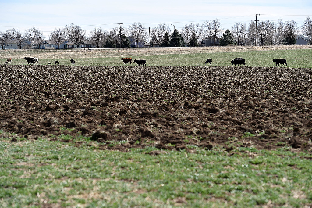 . Cows graze in a field Wednesday, April 11, 2018, where Tom Hewson plans to grow hemp.   (Photo by Jenny Sparks/Loveland Reporter-Herald)