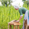 Hemp is Harvested at George Washington's Mount Vernon.  George Washington cultivated hemp at all of his five farms throughout his lifetime, before hemp was demonized.  Today, hemp is being grown through a federal pilot program passed by Congress in 2014, and corresponding legislation in Virginia, and in conjunction with the University of Virginia.   August 22, 2018, Photo by Ben Droz.