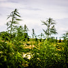The hemp industry, in it's early stages, begins to take root in and around Denver, Colorado. Photo by Ben Droz, July 2015.