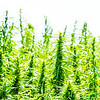 Industrial Hemp is grown for the first time in Pennsylvania in a generation.  The Rodale Institute, an organic research farm in Pennsylvania, has one of 14 plots throughout the State.  Industrial hemp pilot programs like this one, are authorized under SEC 7606 of the 2014 Farm Bill.  Photo by Ben Droz