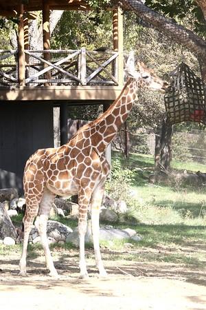 Omaha Zoo: Giraffes