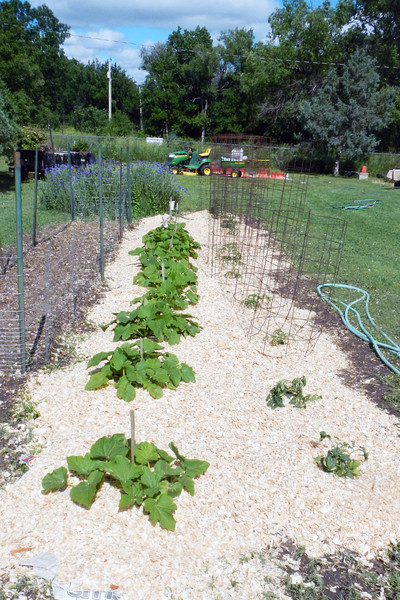 The squash patch and tomatoe row is covered with newspapers and pine shavings.
