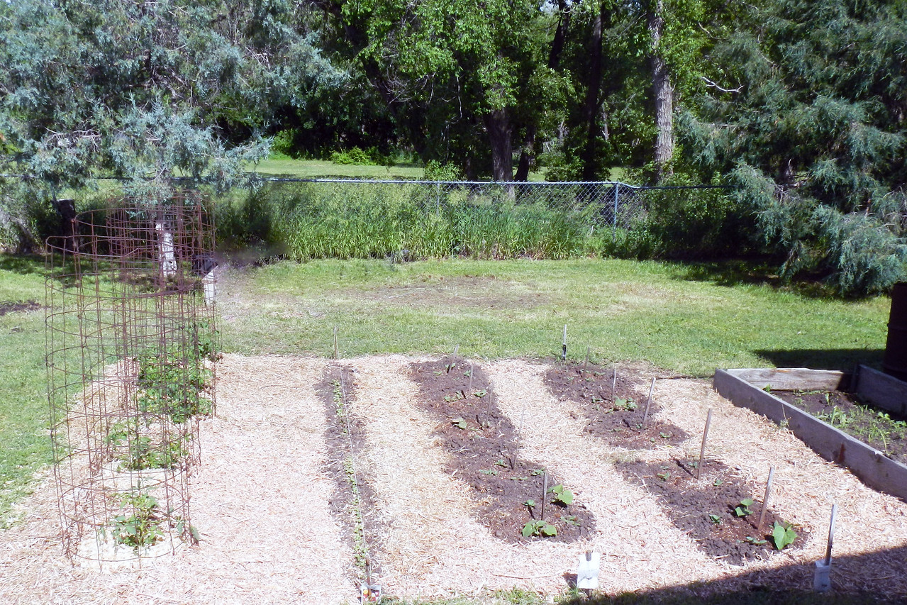 The 2nd tomatoe patch, radishes row and cucumber patch is protected too.