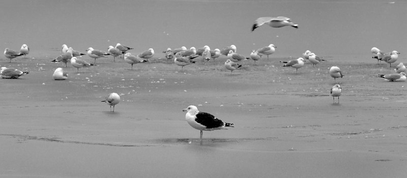 Gulls in the middle of the lake. Hendrickson Park, Valley Stream. Photo by Kathy Leistner