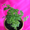 Potted flat leaf parsley