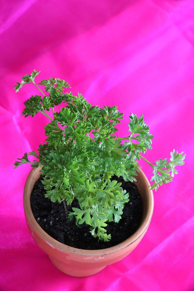 Potted flat leaf parsley
