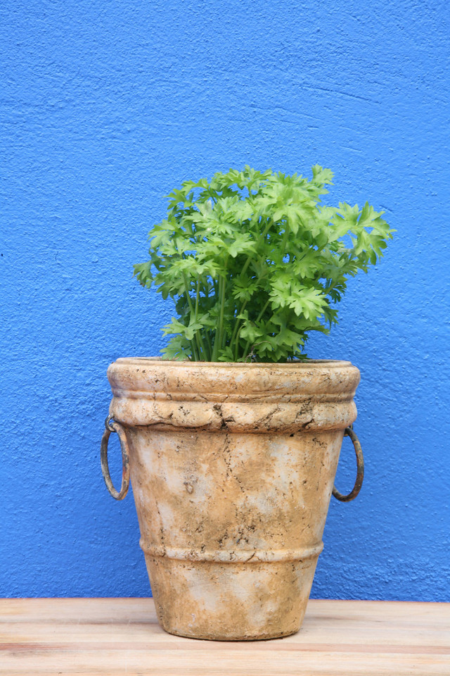 Potted flatleaf parsley