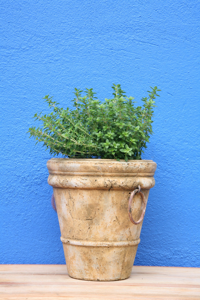 Potted thyme