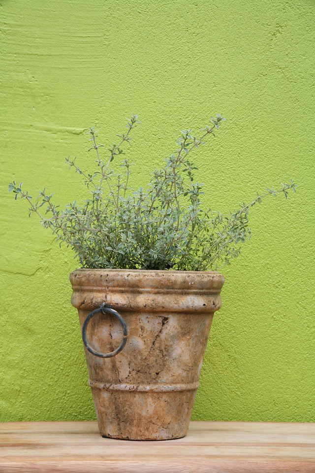 Potted variegated thyme