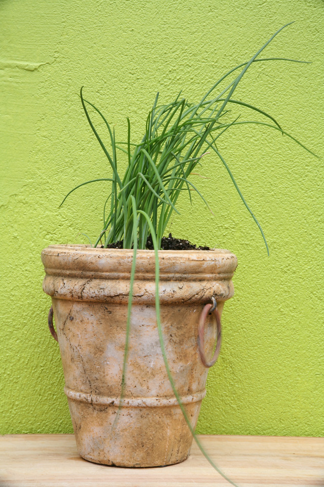 potted chives