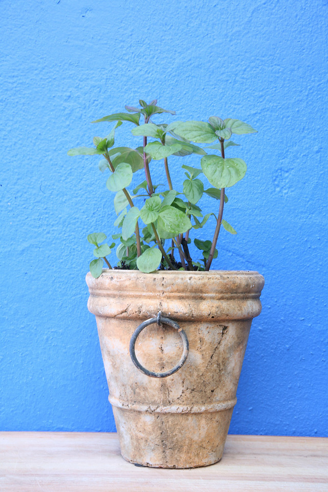 Potted chocolate basil