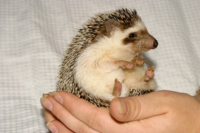 Hamor Hollow Herd - Ackley  Ackley  Filename reference: 20031019-144434-HAH-Hedgehog_Herd-Ackley-SM