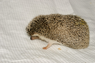 Hamor Hollow Herd - Ackley  Ackley  Filename reference: 20031019-144457-HAH-Hedgehog_Herd-Ackley-SM