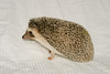 Hamor Hollow Herd - Ackley<br /> <br /> Ackley<br /> <br /> Filename reference: 20031019-144654-HAH-Hedgehog_Herd-Ackley-SM