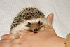 Hamor Hollow Herd - Ackley<br /> <br /> Ackley<br /> <br /> Filename reference: 20031019-144614-HAH-Hedgehog_Herd-Ackley-SM