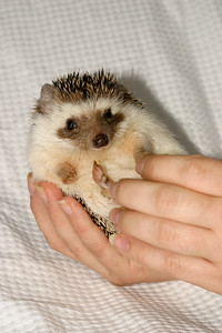 Hamor Hollow Herd - Ackley  Ackley  Filename reference: 20031019-144630-HAH-Hedgehog_Herd-Ackley-SM