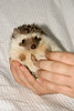 Hamor Hollow Herd - Ackley<br /> <br /> Ackley<br /> <br /> Filename reference: 20031019-144630-HAH-Hedgehog_Herd-Ackley-SM