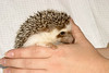 Hamor Hollow Herd - Ackley<br /> <br /> Ackley<br /> <br /> Filename reference: 20031019-144604-HAH-Hedgehog_Herd-Ackley-SM