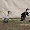 attack duck