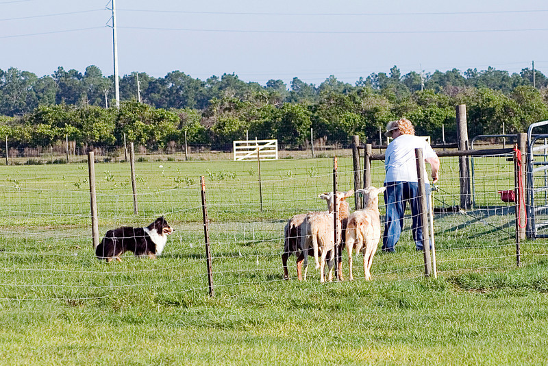 #300 Mighty Mac Linden, Shetland Sheepdog.  Mac holds the sheep at the exhaust pen while Nancy opens the gate.