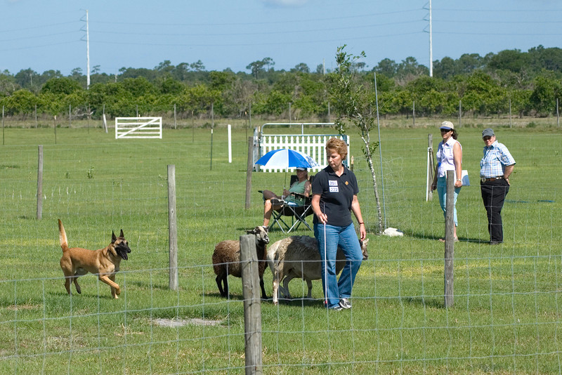 #207 Branhaven's Bacchus, a Belgian Malinois.  Brio works the PT course.