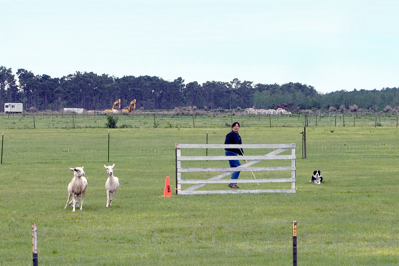 #304 Duo, Border Collie.  Dew and her owner, Carol Tague, work the sheep on the Started A course.