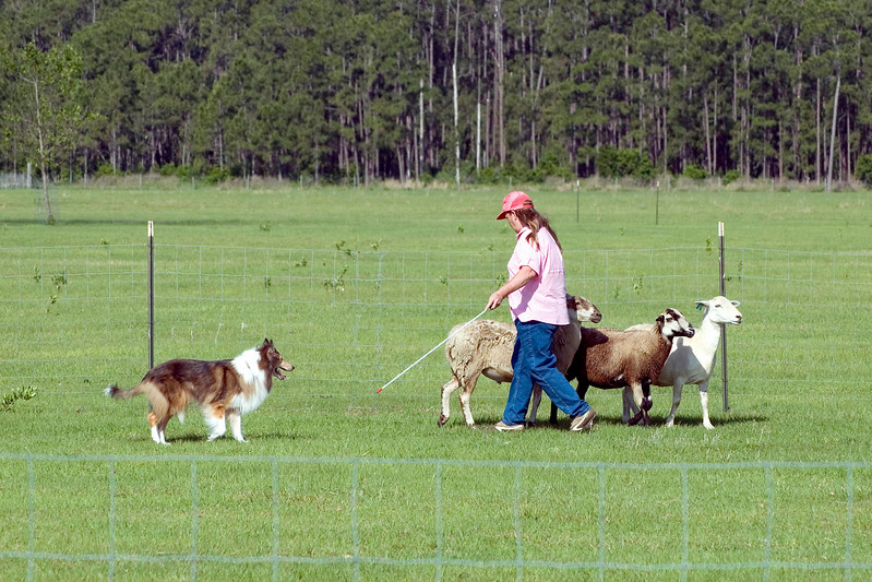 #203 Freiland's Spirit of Liberty HT, RA, AXJ, OJP, NFP, Rough Collie.  Liberty keeps the sheep grouped together and moving in a controlled manner.